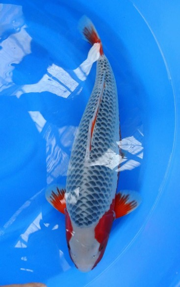 Carpa koi asagi koi varese for Costo carpa koi